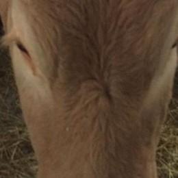 La Fattoria delle coccole adotta Libera  Mucca ribelle in fuga dal macello
