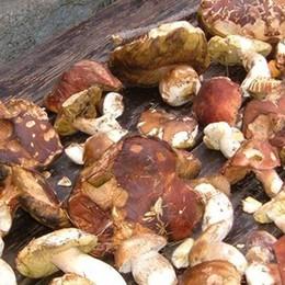 Stangata svizzera per chi cerca funghi  Cento euro di tassa a settimana