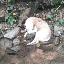 Caduto nel Cosia a Tavernerio Cane salvato dal soccorso veterinario