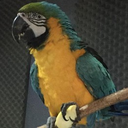 Dongo, il pappagallo Milord   ucciso da un colpo di fucile