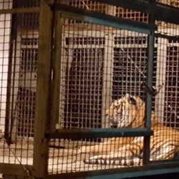 """Tigri in """"vetrina"""" Proteste a Cadorago"""