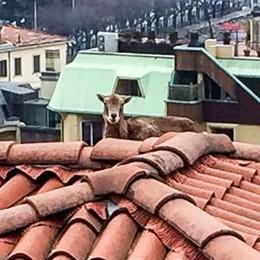 Muflone sul tetto in città Salvato dai vigili del fuoco