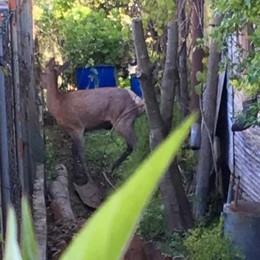 Olgiate, catturato giovane cervo   Era nel giardino dietro le Medie