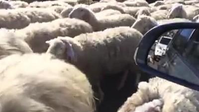 Gregge di pecore a Tavernerio