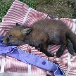 San Fedele Intelvi, famiglia salva un cucciolo di volpe: ora sta bene