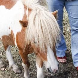 Magreglio, il pony non si muove  Ricorso al Tar contro il trasloco