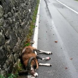 Lasnigo, altro muflone investito  «Automobilisti in pericolo»