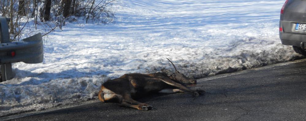 Ferito in moto per un cervo a Grandola  «Ora fermate gli incidenti sulla statale»