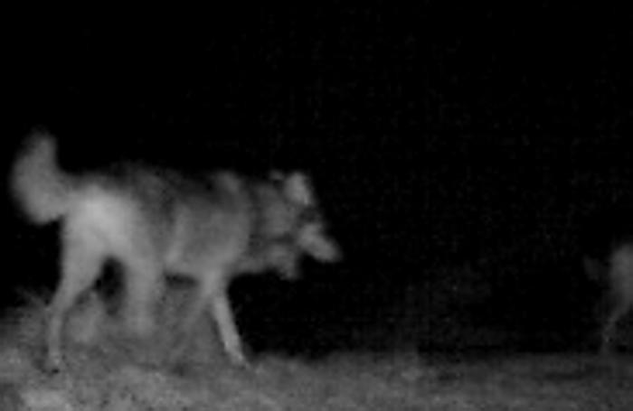 Un'altra immagine del lupo
