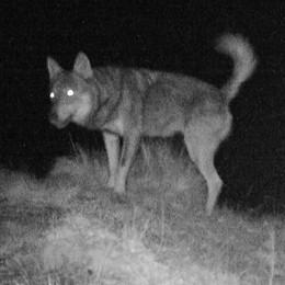Esclusivo: ecco le foto  del lupo della Val Cavargna