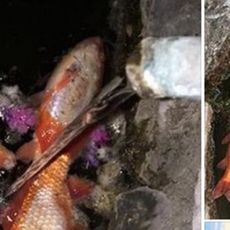 «Pesci morti e acqua torbida»  È allarme a Ponte Lambro