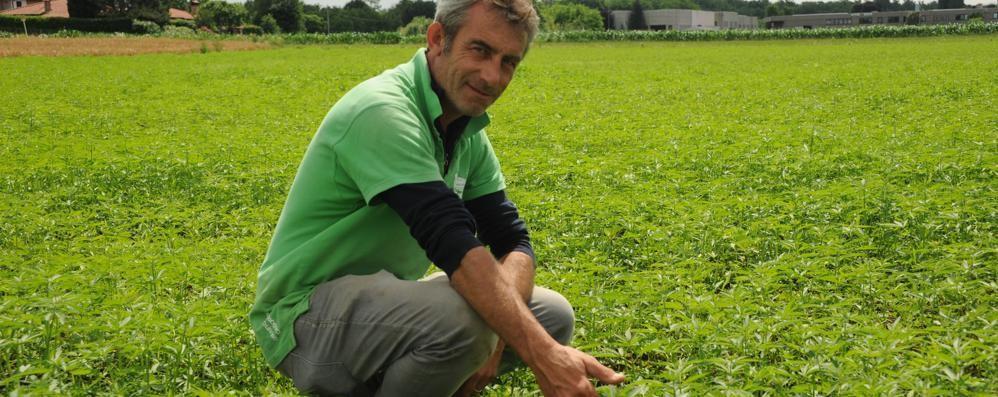I contadini ripartono dalla cannabis  «Droga? No: produciamo olio e carta»