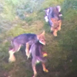 Una strage di pecore sul confine  Altri due lupi avvistati in Svizzera