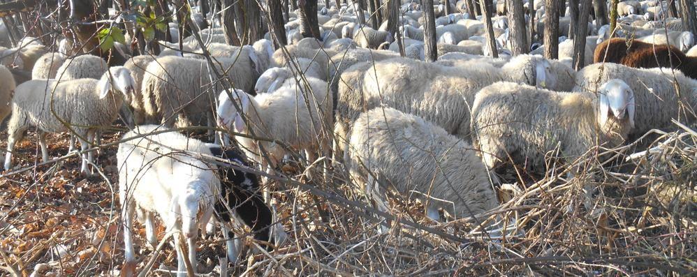 Appiano, derubati i pastori  Rubate duecento pecore