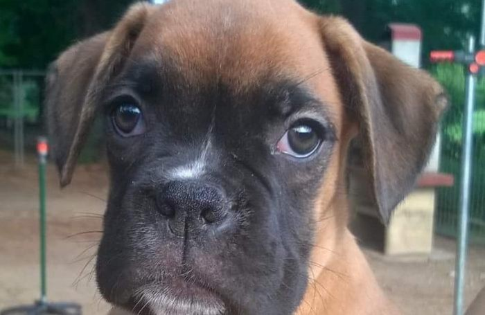 sparita cucciola di boxer sguercina uggiate