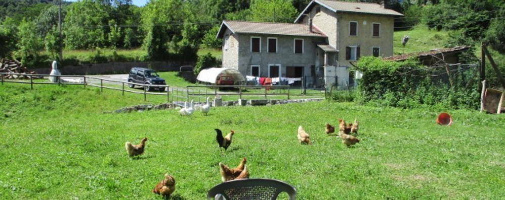 Strage di galline in Valle Intelvi  «Ci sono troppe volpi e faine»