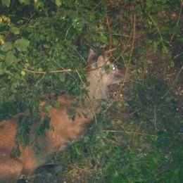 Cervo investito a Intimiano  «Ormai arrivano anche qui»