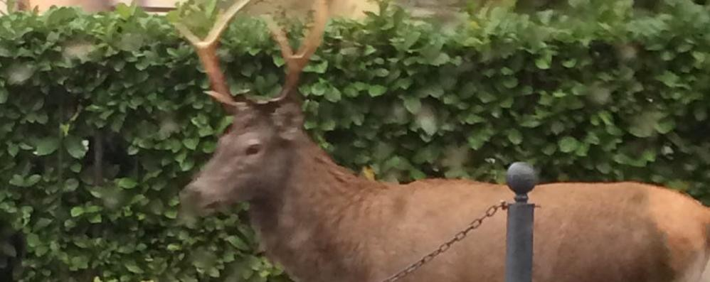Uccidono il cervo e gli tagliano la testa  Bracconieri senza cuore a Loveno