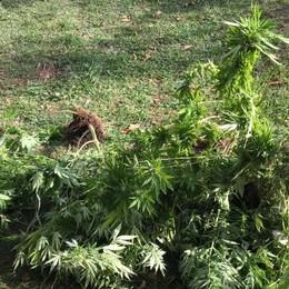 A caccia di droga con l'elicottero La Finanza scopre una piantagione