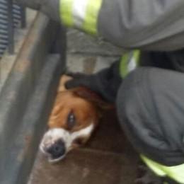 Cane incastrato nel cancello  Lo liberano i vigili del fuoco