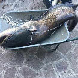 Troppi pesci siluro  Scatta l'allarme nel lago