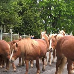 Cavalli del Bisbino sul Generoso  Hanno già trovato le fidanzate