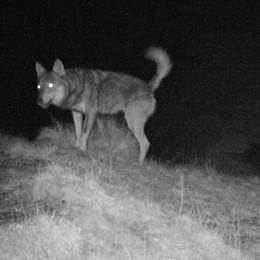 Dosso del Liro: il lupo ha fame,   sbranate due pecore