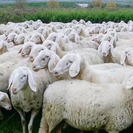 «Uccise 44 pecore del rivale»  Condannato a 2 anni e mezzo