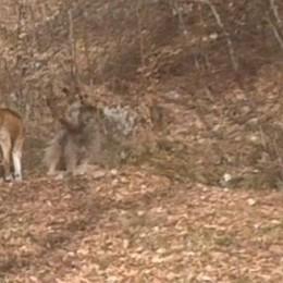 Alto Lago: troppi cani randagi  «Sbranati almeno 150 animali»