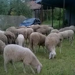 Rubate nella notte ottanta pecore  Il proprietario: «Non uccidetele»