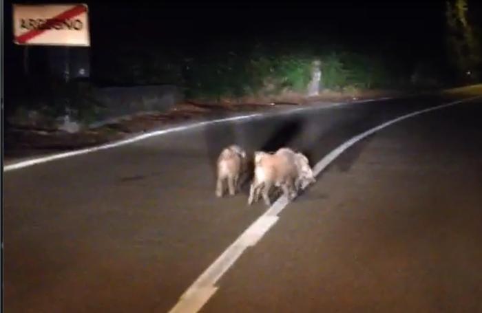 I tre cuccioli filmati sulla strada Regina ad Argegno