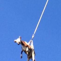 Anche le mucche volano L'avvistamento a Cremia
