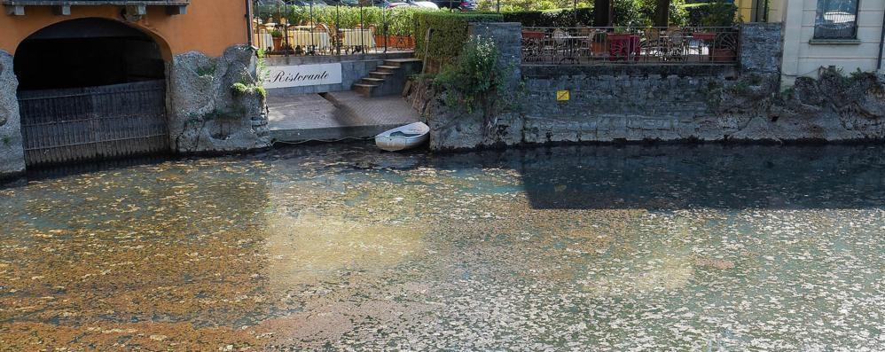 Darsena invasa dalle alghe   «Un guasto alle pompe»