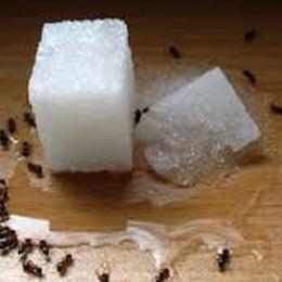 Le formiche  invadono le case Come batterle  in modo naturale