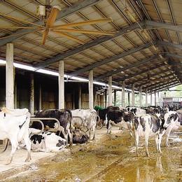 Agricoltura, agosto nero  Crolla la produzione di latte