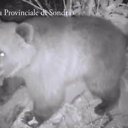 Cercatore di funghi  aggredito da un orso