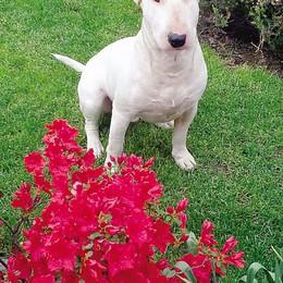 Bull terrier sbrana un cane Il padrone: «Non è pericoloso»
