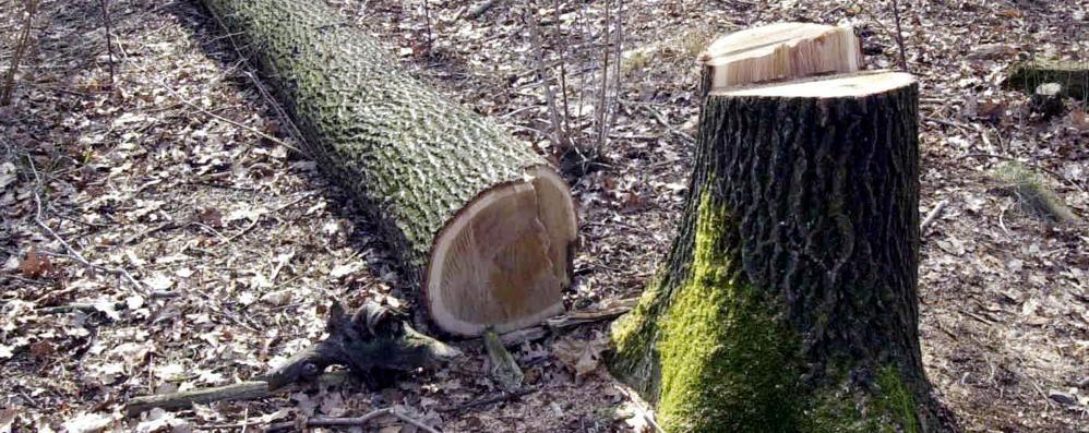 A Uggiate spariscono gli alberi  Caccia al taglialegna misterioso