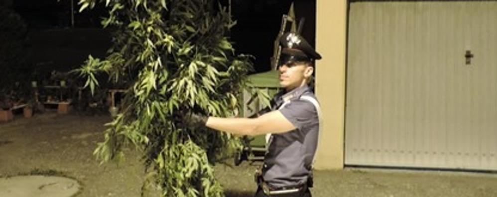 Carugo, coltivava  piante di marijuana