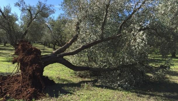 Xylella: Tar Lazio blocca piano Silletti