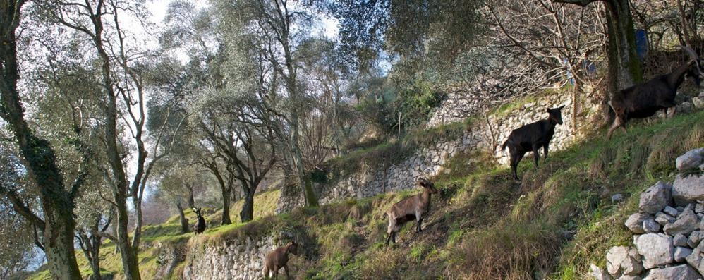 """Raccolta delle olive in Tremezzina  La """"grande crisi"""" è  alle spalle"""