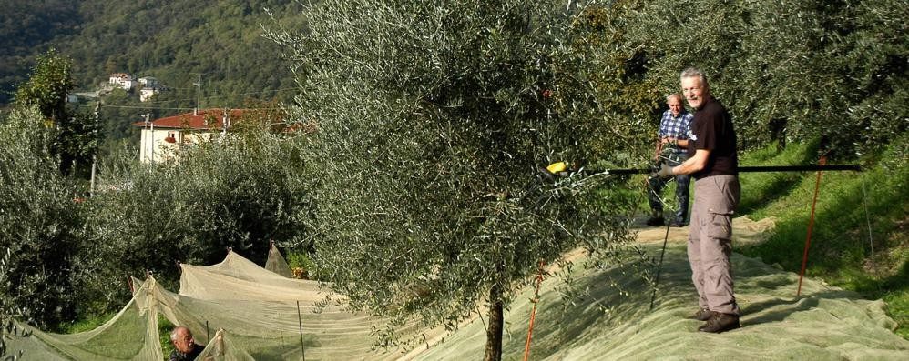 Torna l'olio di Caslino  Dopo mille anni