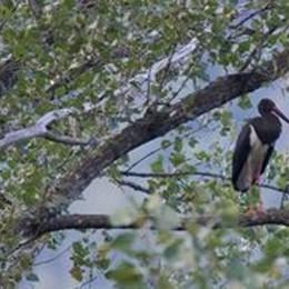 Carlazzo, una cicogna nera  Nella riserva dopo 23 anni