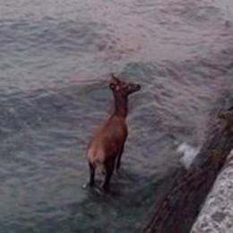 Cervo attraversa il lago a nuoto  Portato in salvo, ma era sfinito