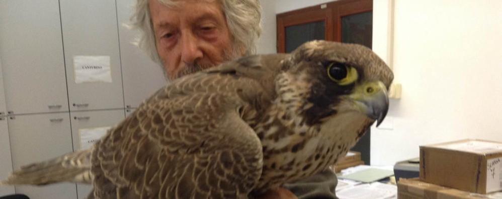 Como, che sorpresa: un falco pellegrino in centro storico