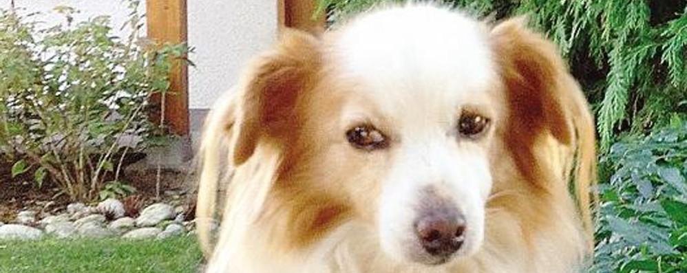 La cagnolina Matilde   difende villetta a Cantù  Ladri costretti alla fuga