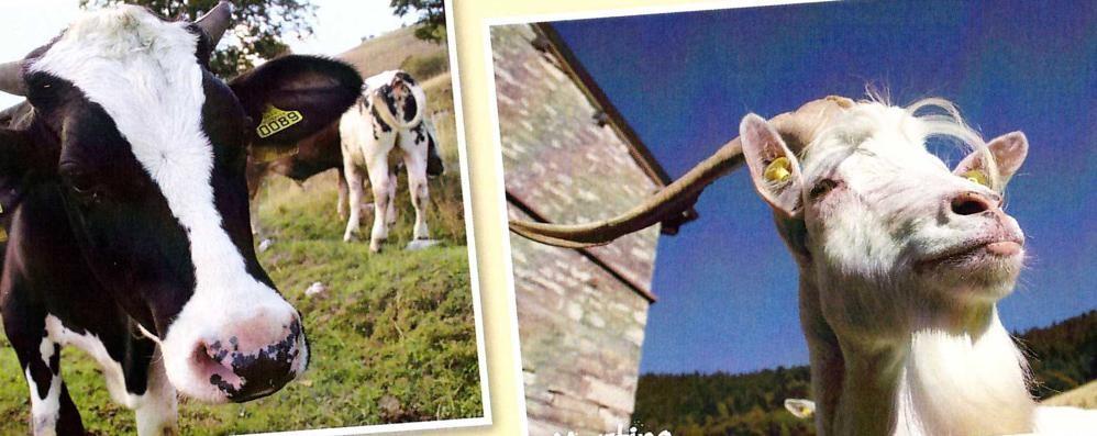 Una casa per gli animali maltrattati  È in Val d'Intelvi la fattoria delle coccole