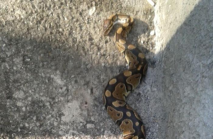 Un'altra immagine del serpente intontito dal freddo