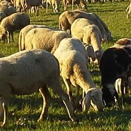 Torna anche l'abigeato  Rubate trentotto pecore