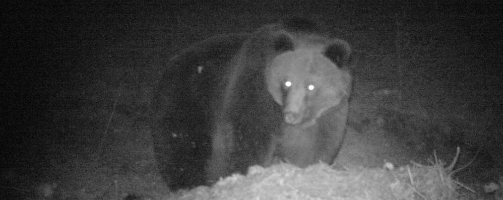 Valtellina, è tornato l'orso, affamato  Fotografato dagli agenti
